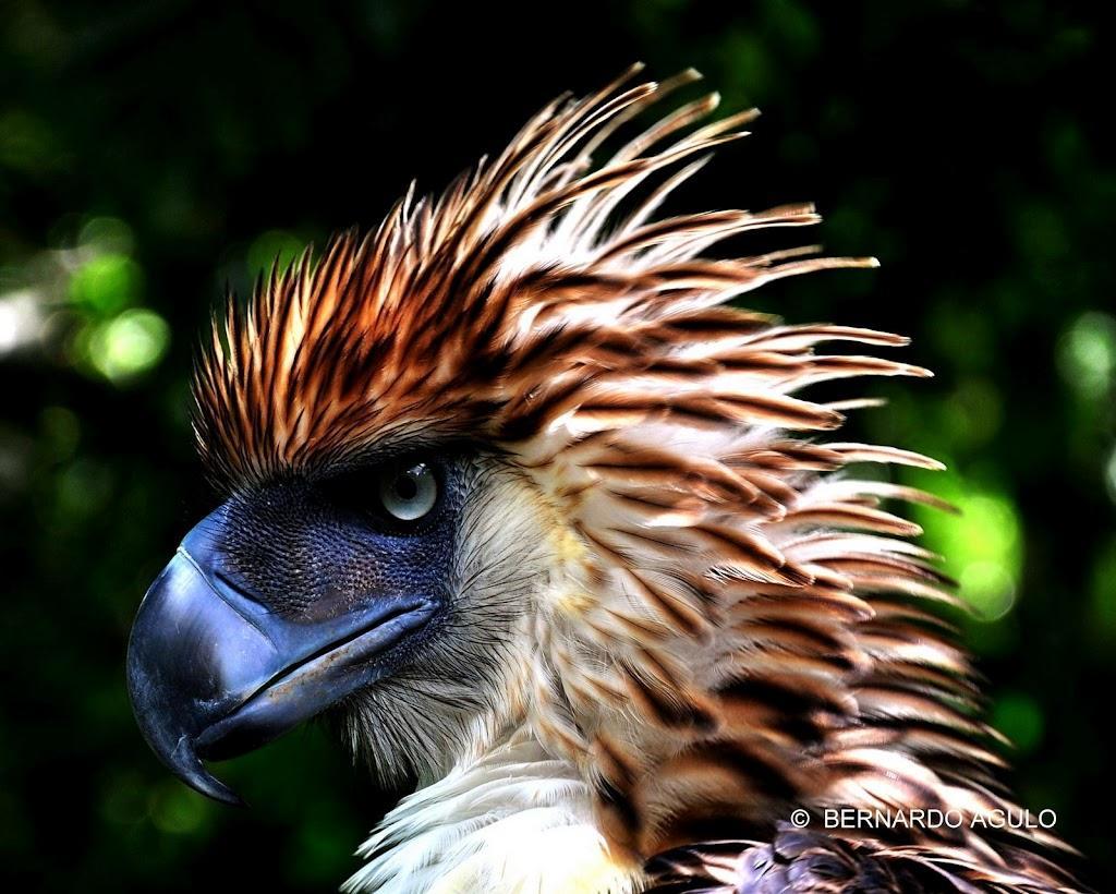 Philippine Eagle - Bernardo Agulo