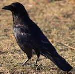 Crow No. 6 by *Amaries-stock