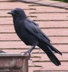 Crow Nr 3 by ~Limited-Vision-Stock