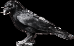 crow 6 by *peroni68