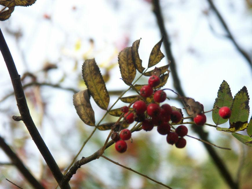 Rowan Berries 2 by ~Forestlady-stock