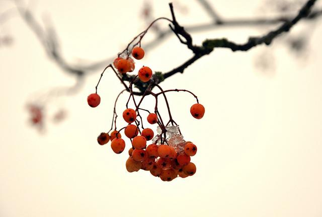 Rowan Berries | Flickr - Photo Sharing!