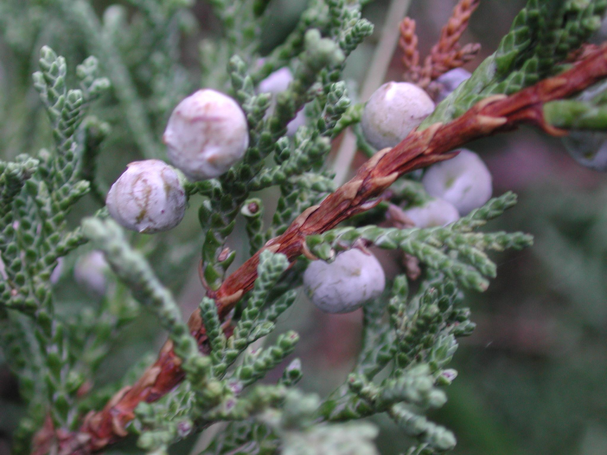 juniper berries.JPG (2048×1536)