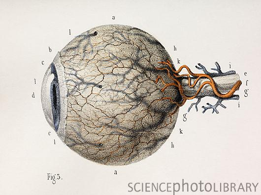 C0104491-Eye_anatomy,_1844_artwork-SPL.jpg 530×397 pixels