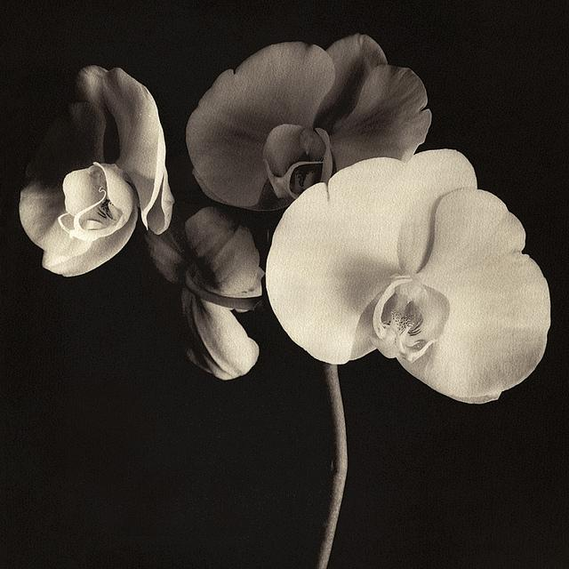 Orchid, toned XL-Kallitype   Flickr – ?????