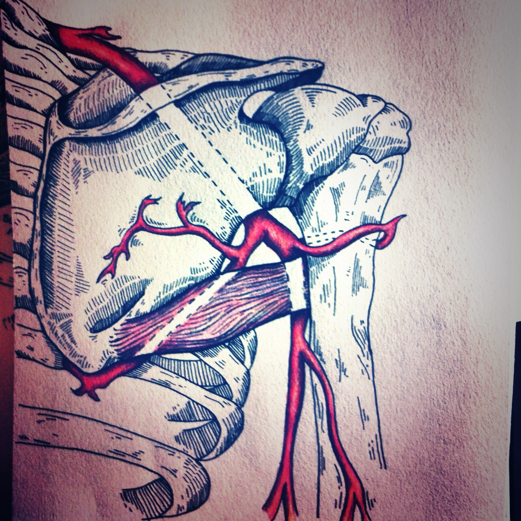 The Axillary Artery and Its Branches. on
