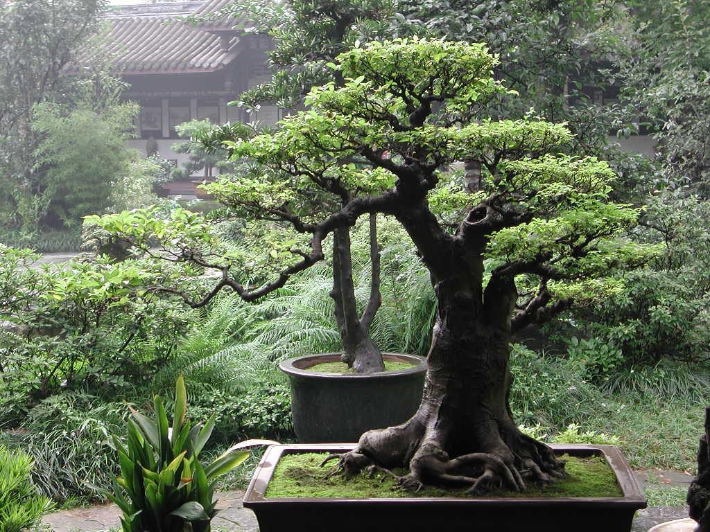 Resultados da Pesquisa de imagens do Google para http://4.bp.blogspot.com/-YCsNteXGEJA/TfWEZSc-fRI/AAAAAAAAAJk/ksKRnks1Cow/s1600/the-best-bonsai-caring-ways.jpg