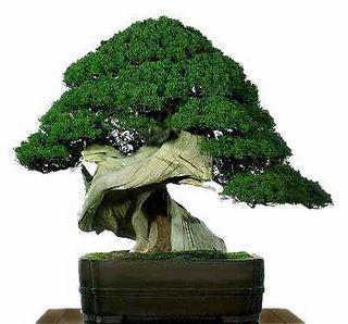Resultados da Pesquisa de imagens do Google para http://www.mundogump.com.br/wp-content/uploads/2011/04/cuidar-bonsai-2.jpg