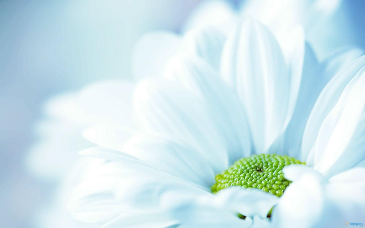 Fresh White Flower Wallpapers - 1280x800 - 147726