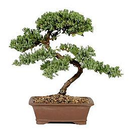 Resultados da Pesquisa de imagens do Google para http://www.bonsai-express.com/_images/brazilian_rain_tree.jpg