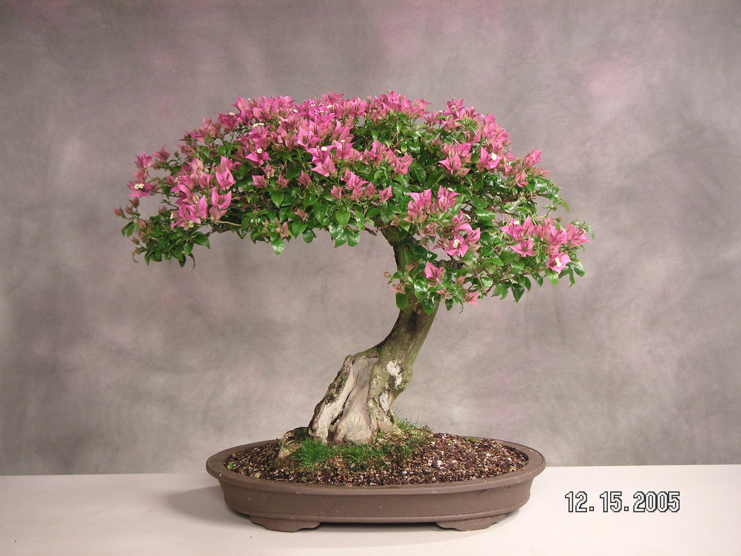 crepe myrtle bonsai