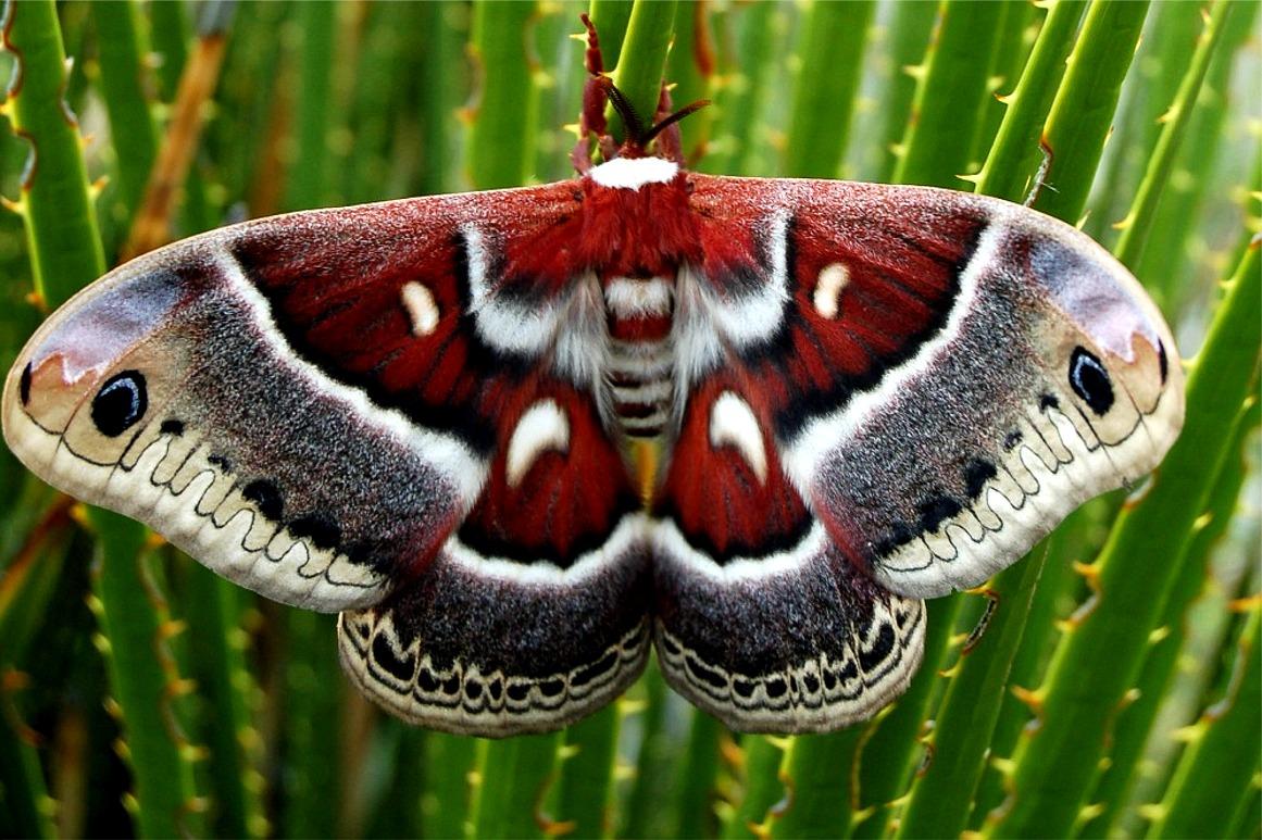 lep_columbia_moth071.JPG (JPEG Image, 1161x773 pixels) - Scaled (86%)