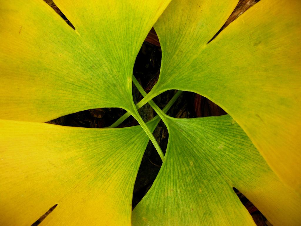 All sizes | ginkgo four | Flickr - Photo Sharing!
