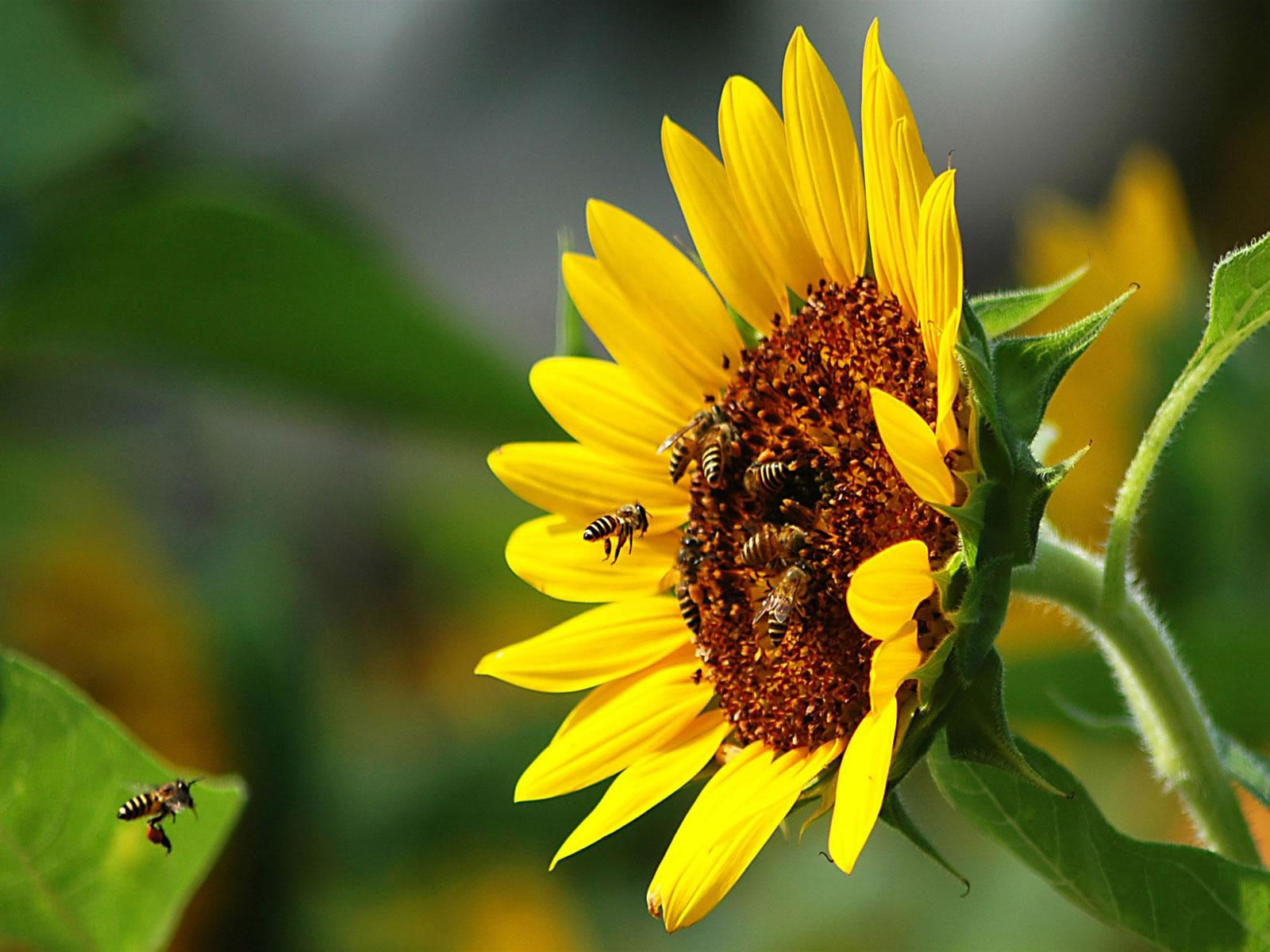 Image Detail for - http://4.bp.blogspot.com/-BqQ5lC5sBi4/TZNGtuS2SAI/AAAAAAAAAHE/jLV3236VW1Q/s1600/abelhas-no-girassol-3fa9c.jpg
