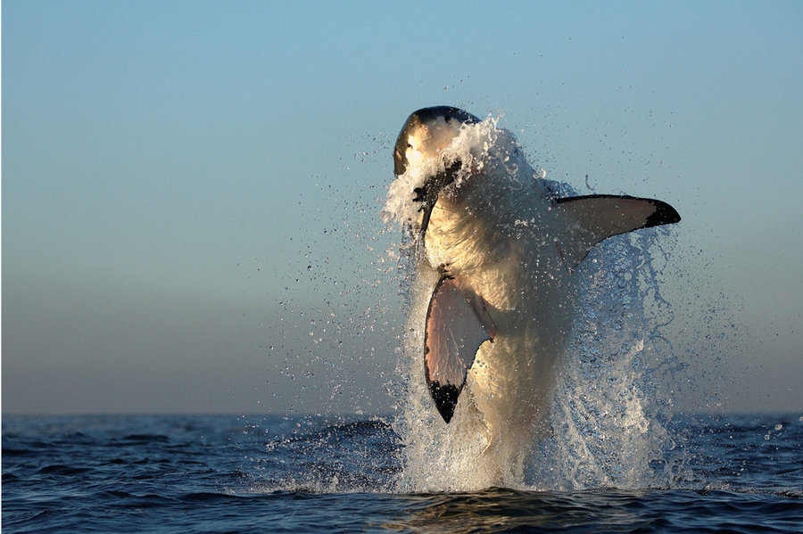 white shark hunting by *alfred-georg