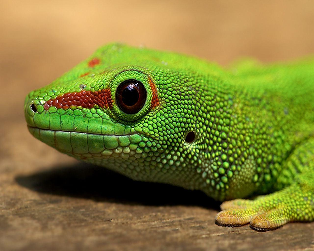 Green Lizard Face Wallpaper | Animals Desktops and Stock Photos