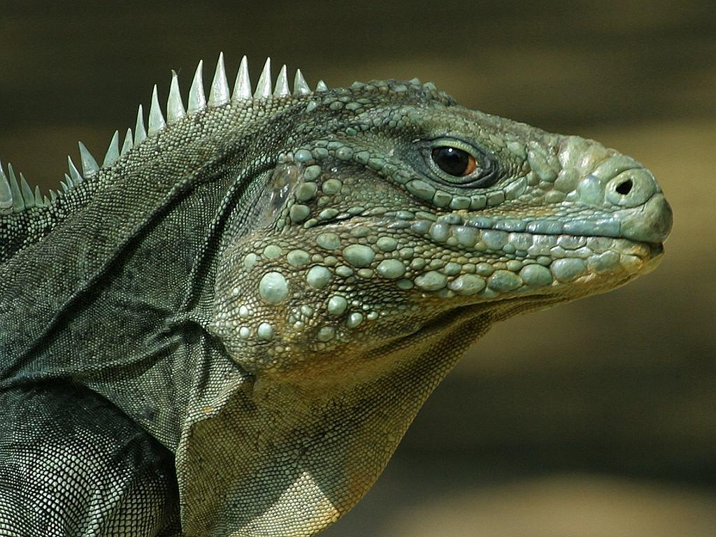 Lizard Face Picture and Wallpaper | Public Domain Pictures and Photos