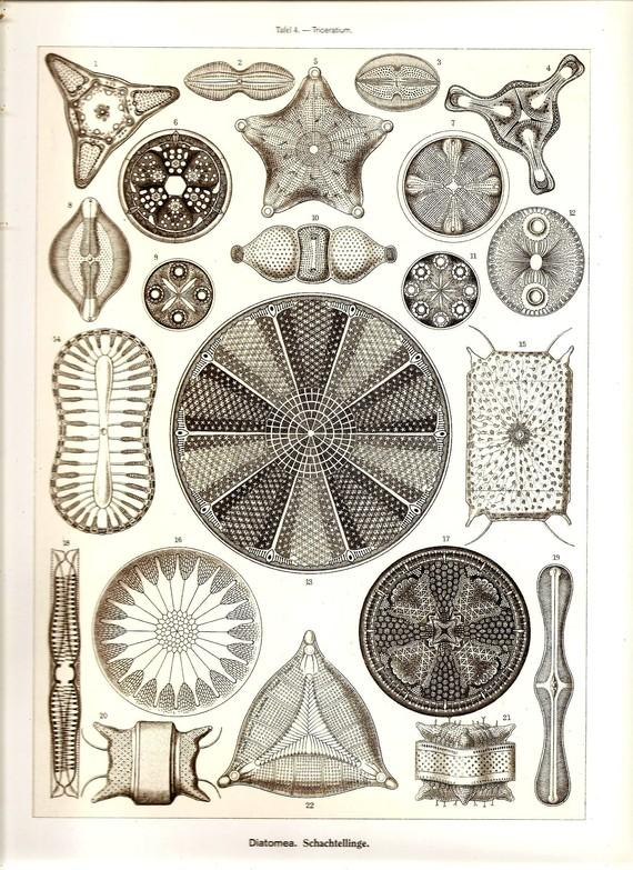 Ernst Haeckel Art Print Beautiful Colored by NaturalistCollection