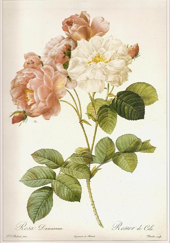 REDOUTE Vintage Roses Print 1990 Art by NaturalistCollection