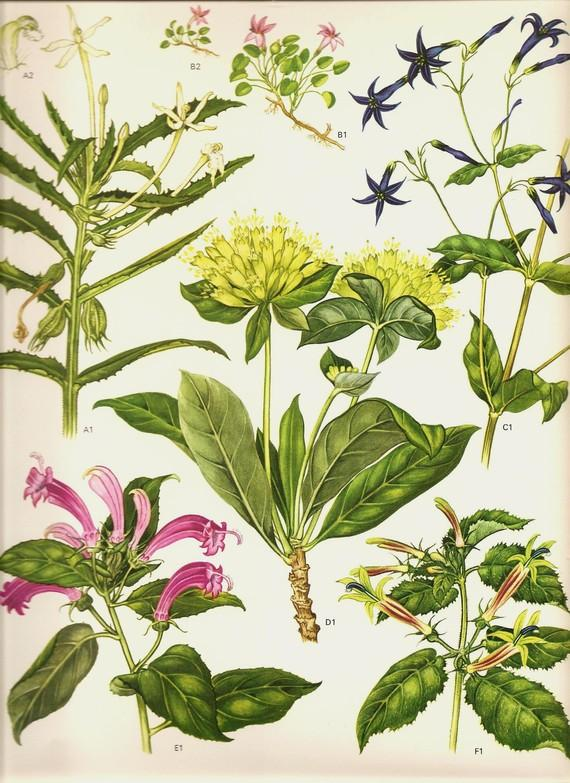Vintage Botanical Print 1970 Color Art by NaturalistCollection