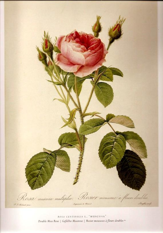 Botanical Print REDOUTE ROSES 2007 Color by NaturalistCollection