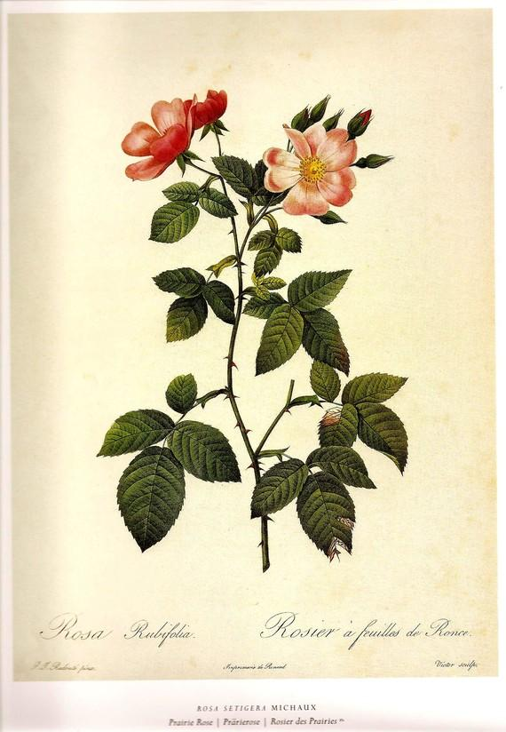 ROSES Botanical Print 2007 REDOUTE Color by NaturalistCollection