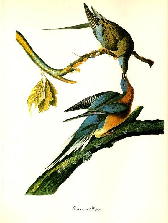 BLOG FEATURED Audubon Birds of America by NaturalistCollection