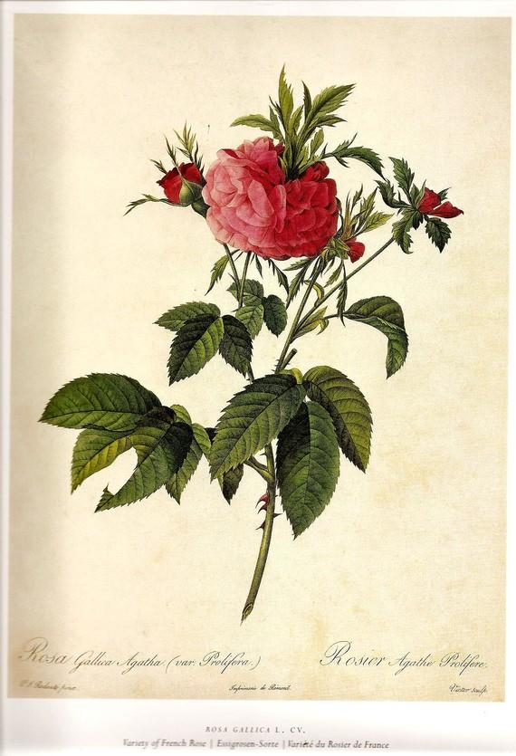 Rose Print REDOUTE 2007 FRENCH ROSE Color by NaturalistCollection