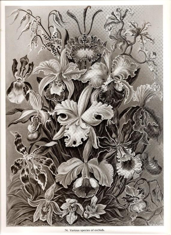 Ernst Haeckel ORCHID Art Print Beautiful by NaturalistCollection