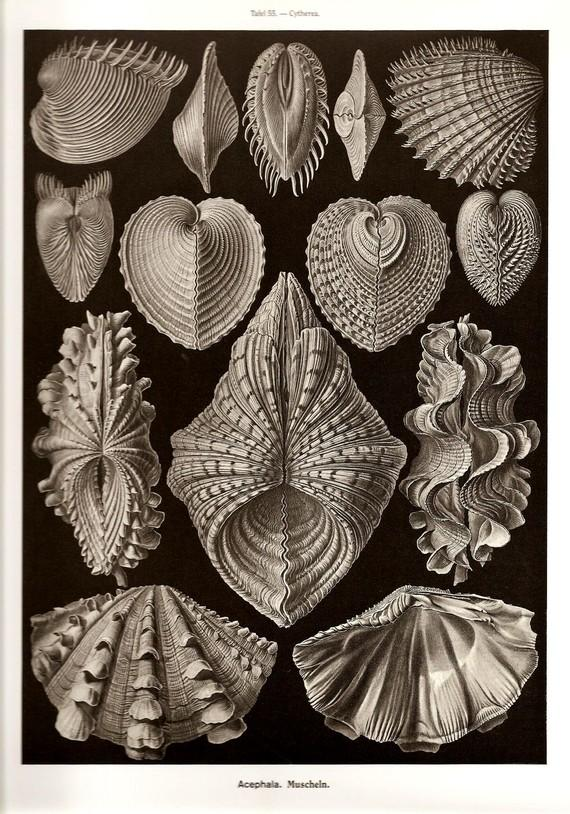 Ernst Haeckel Print SHELLS 2010 Colored by NaturalistCollection