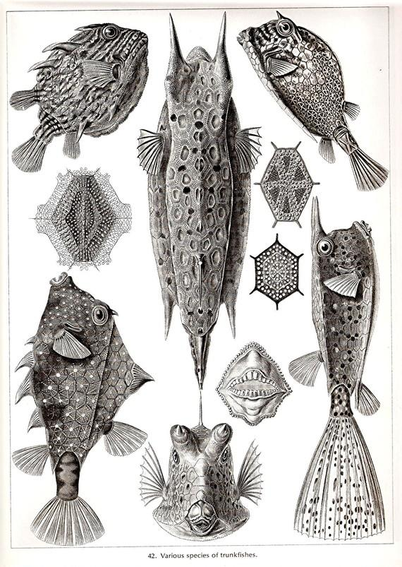 Ernst Haeckel Art Print Trunkfish Blowfish by NaturalistCollection