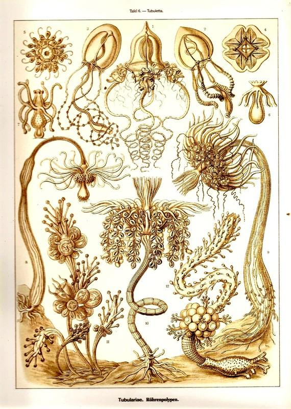 Ernst Haeckel CORALS Art Print Beautiful by NaturalistCollection