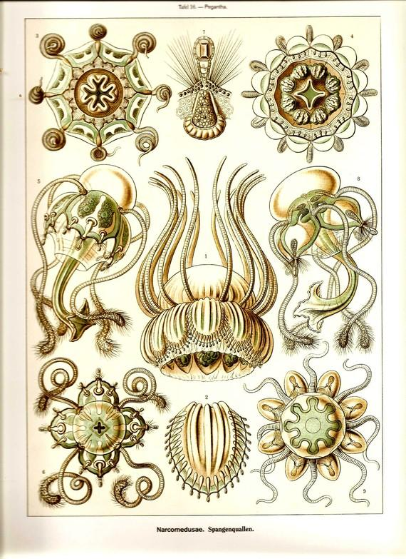 Ernst Haeckel JELLYFISH Art Print by NaturalistCollection on Etsy
