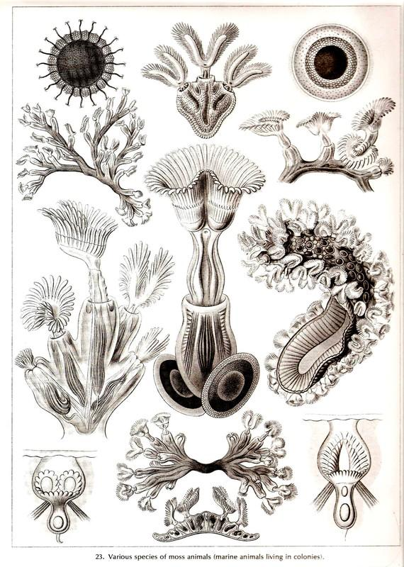 Ernst Haeckel Art Print Moss Algae by NaturalistCollection on Etsy