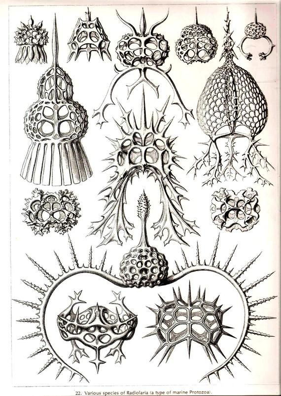 Ernst Haeckel Art Print Beautiful by NaturalistCollection on Etsy
