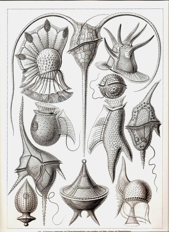 Ernst Haeckel Art Print Collectable by NaturalistCollection