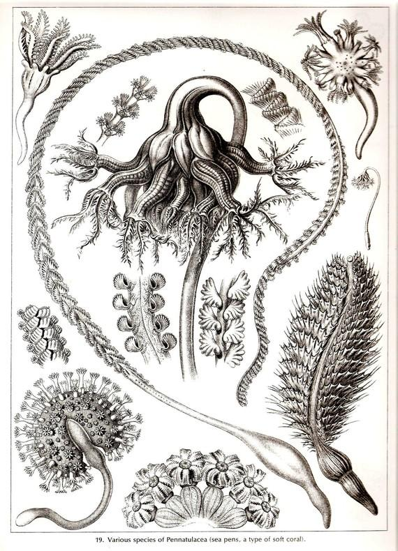 Ernst Haeckel CORALS Art Print Collectable by NaturalistCollection