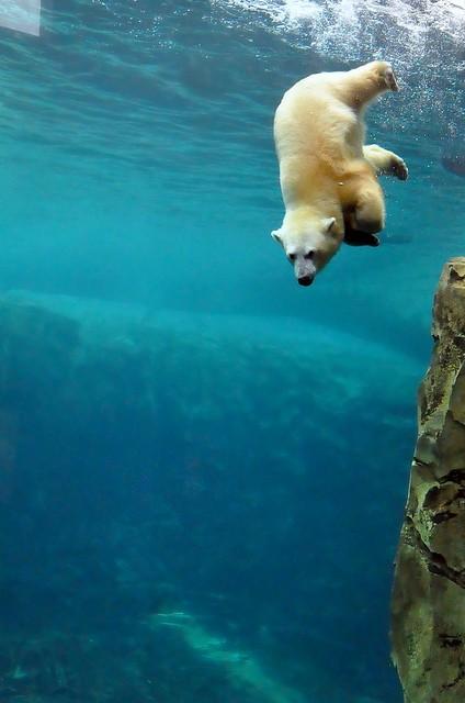 Polar Bear Diving on Inspirationde