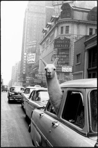 inge-morath-llama.jpg (1400×2109)