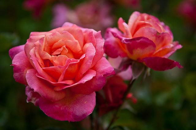 Roses | Flickr - Photo Sharing!