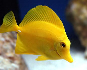 Yellow-Tang-Pictures.jpg (JPEG Image, 350×284 pixels)