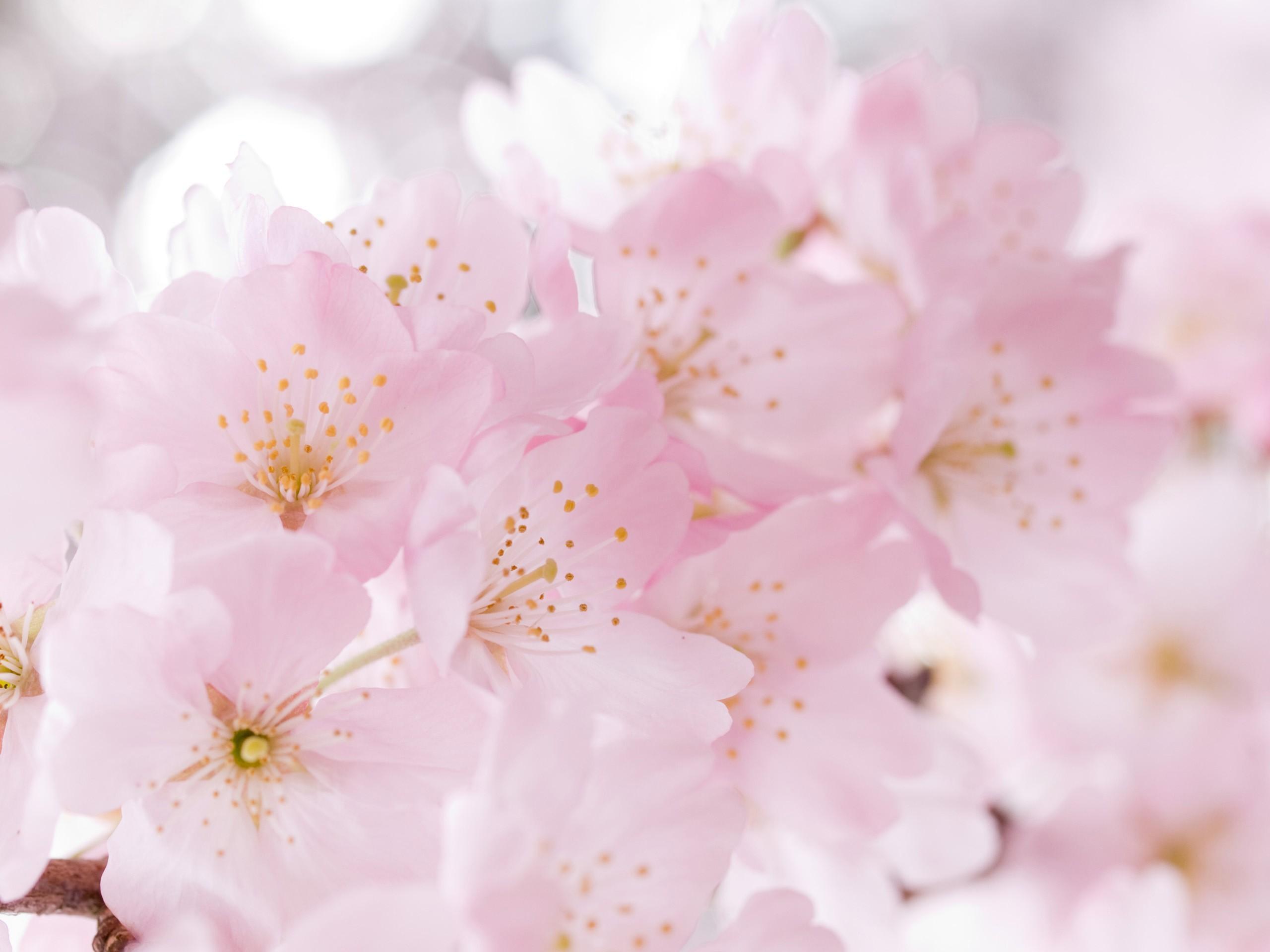 Sakura blossoms - Wallpaper (#883751) / Wallbase.cc