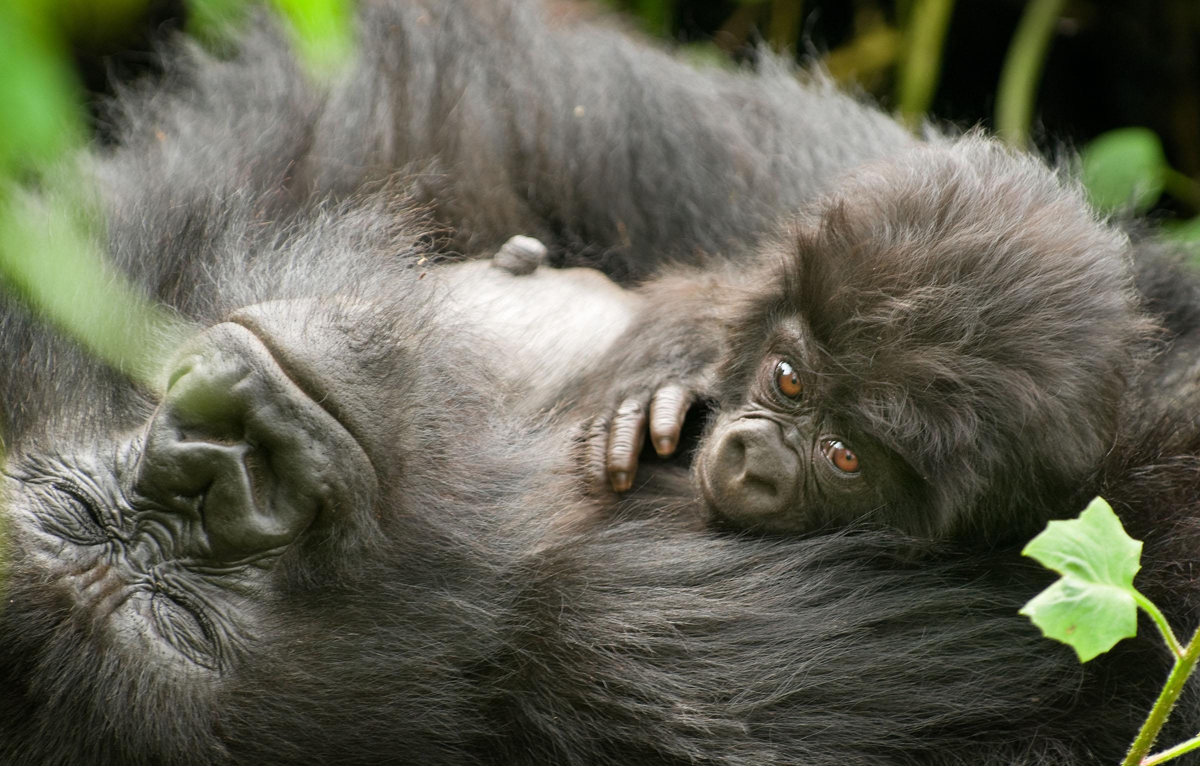 Todos os tamanhos | RWANDA - GORILAS VIRUNGAS NATIONAL PARK | Flickr – Compartilhamento de fotos!