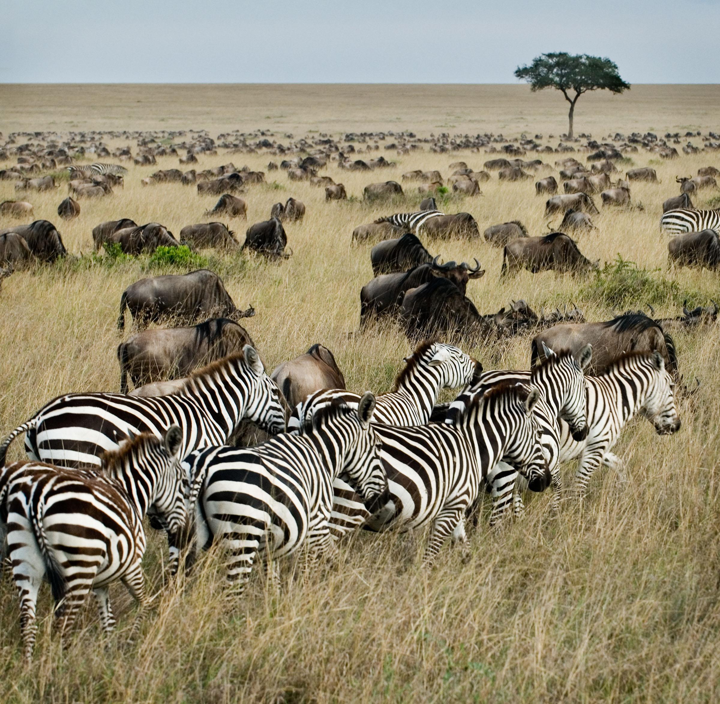 Todos os tamanhos | KENYA - MASAI MARA - MIGRATION | Flickr – Compartilhamento de fotos!