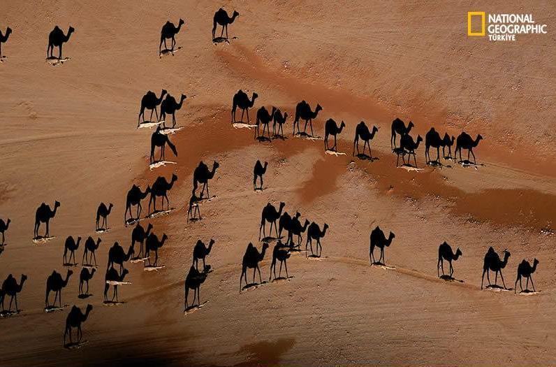 camels.jpg (796×525)