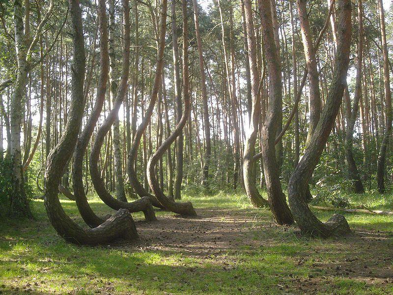 File:Nowe czarnowo-krzywy las.jpeg - Wikipedia, the free encyclopedia