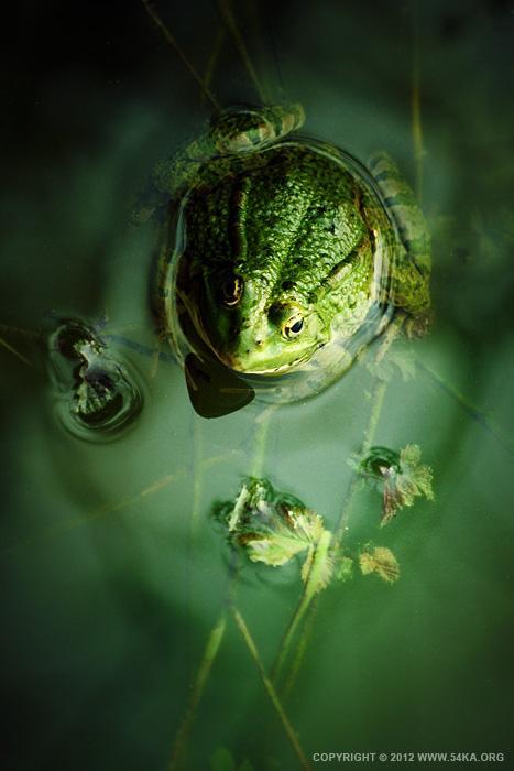 Frog - 54ka [photo blog]