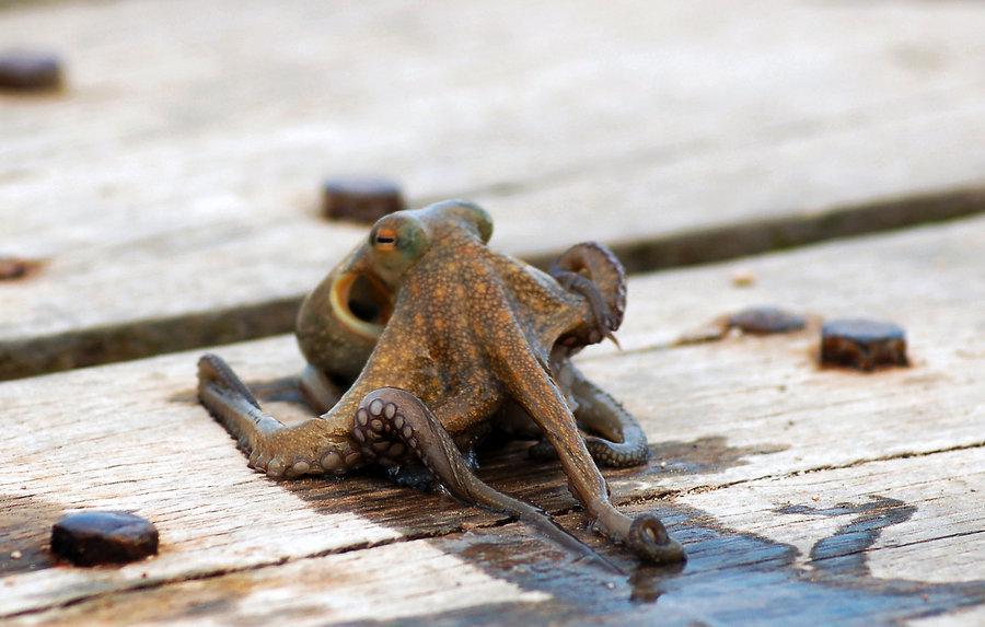 Baby Octopus posing -Greece- by ^StamatisGR