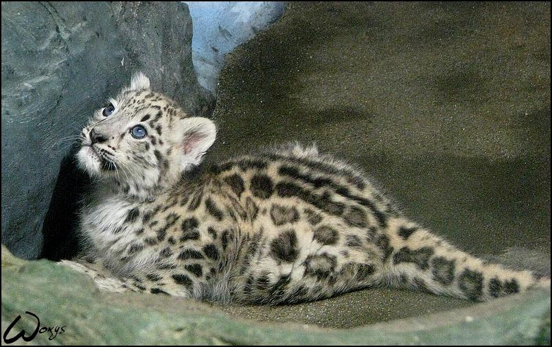 Snow leopard, sweet baby by *woxys