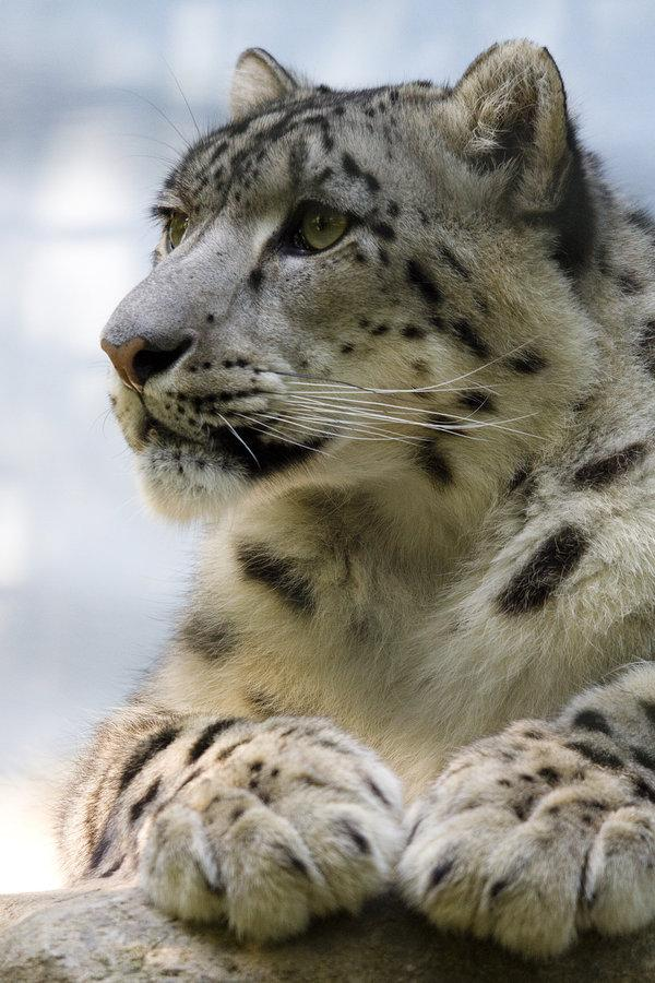 2545 - Snow leopard by ~Jay-Co
